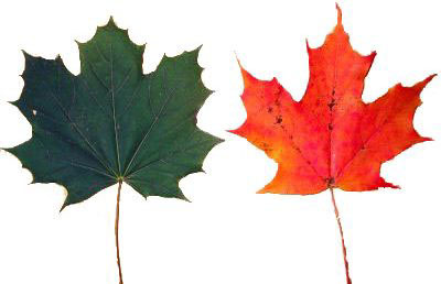 Norway maple leaf (left) and sugar maple leaf (right).  Both were removed from their respective trees on October 17, 2004