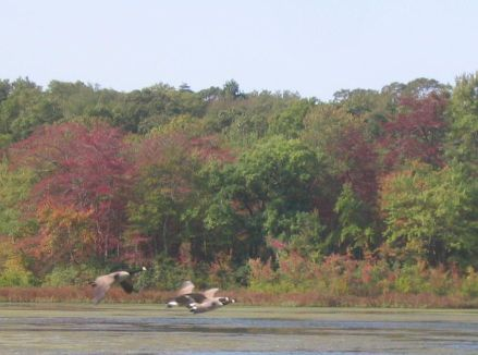 Canada Geese flying over Stump Pond in Smithtown, September 25, 2004