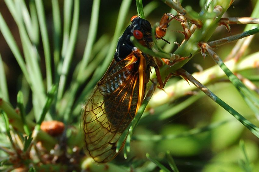 Periodical Cicada in the Long Island Pine Barrens on June 21, 2008.  Photo by E. Moran
