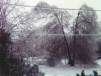 January 14, 1978 Ice Storm - Syosset, New York.  This double-trunked Pin Oak resisted the pull of the ice.