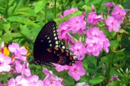 Spicebush Swallowtail butterfly - Sweetbriar Nature Center, Smithtown, NY