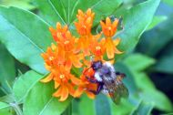Bee on Butterflyweed - Sweetbriar Nature Center, Smithtown, NY
