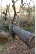 Enormous blowdown at Sweetbriar Nature Center destroyed several trees, Smithtown, Long Island