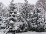 Snow covered spruces, Smithtown, NY, March 1, 2005