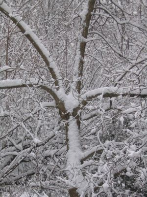 Snow plasters the branches of a Catalpa tree on March 12, 2005